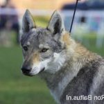 Promo : Race chien spitz loup (Support)